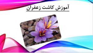 دانلود پاورپوینت آموزش کاشت زعفران در ۱۲ اسلاید قابل ویرایش
